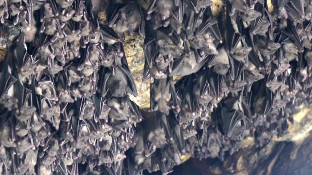 Mouse Bats on the cave arch in Pura Goa Lawah (bat cave temple). The temple is built surrounding a limestone cave that housed thousands of bats. East Bali. Indonesia, video