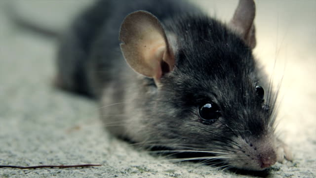 Mouse been poisoned still breathing video