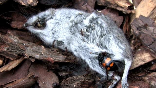 maus abriss - käfer stock-videos und b-roll-filmmaterial