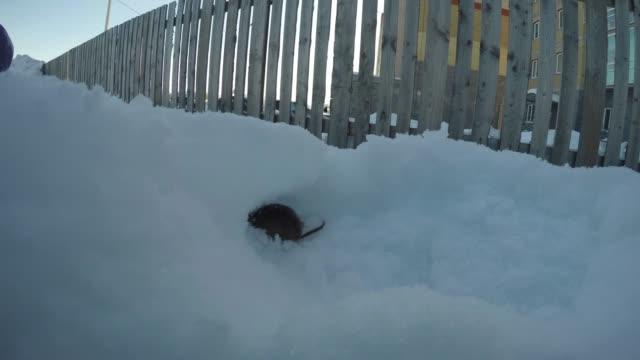 木のフェンスの近くで雪の中に穴を掘るネズミ ビデオ