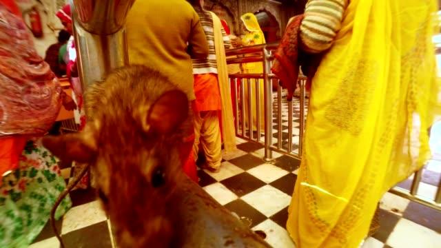 mus säten på räcke och luktar det bakom indiska människor dyrkan till karni mata närbild - india statue bildbanksvideor och videomaterial från bakom kulisserna