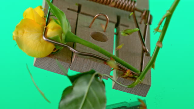 SLO MO LD Mouse trap breaking the rose stem