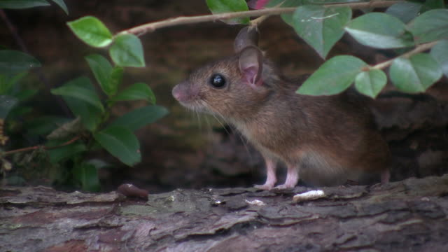 mouse (apodemus sylvaticus - baffo parte del corpo animale video stock e b–roll
