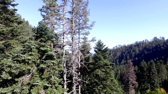 Move, fly among forest pine trees, bird pov video