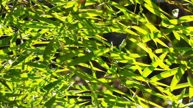 Movement of bamboo leafs video