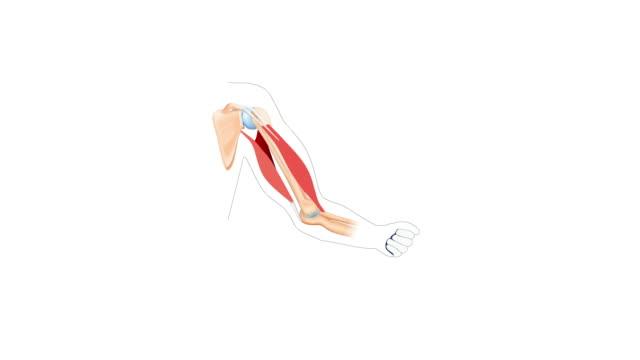 トレーニング中に腕が曲がっているときの上腕二頭筋と上腕三頭筋の動き。 - 人の筋肉点の映像素材/bロール