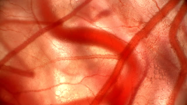 movement of blood through the blood vessels of the circulatory system in quail or chicken embryos in an egg movement of blood through the blood vessels of the circulatory system in quail or chicken embryos in an egg, under a microscope 4K blood vessel stock videos & royalty-free footage