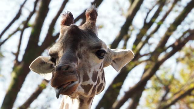 bewegung der giraffe mund - schnauze stock-videos und b-roll-filmmaterial