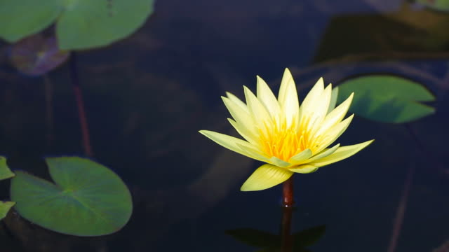 Movement of Lotus Flower in the garden video