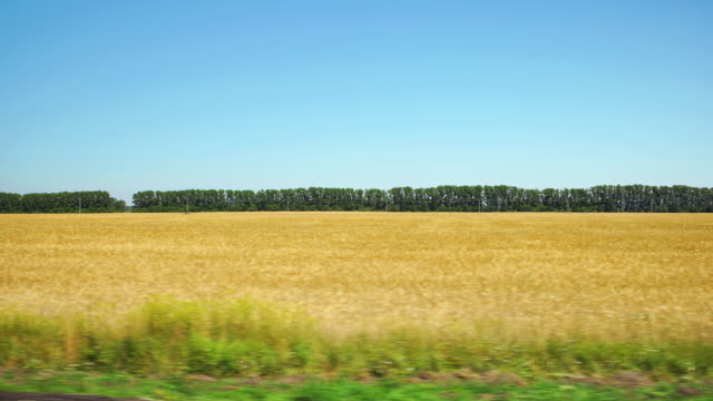 POV: Moving along a yellow agricultural field and row of trees on background in Altai, Russia video