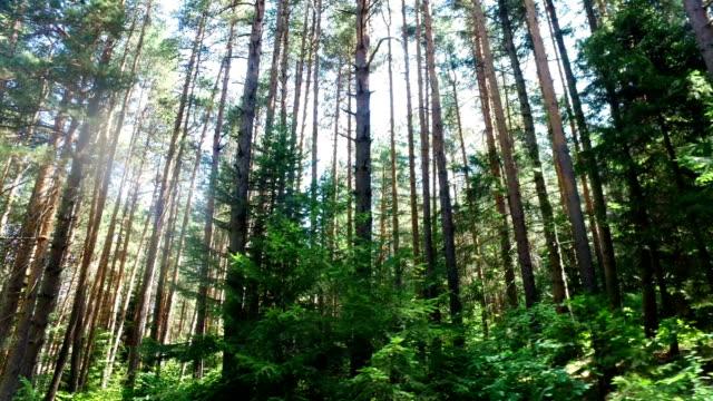 flytta längs tallskog. scen kännetecken för scots pine skogar i norra europa: sverige, finland, baltiska stater, etc. skogen står struktur är typiska för kommersiella skogar - pine forest sweden bildbanksvideor och videomaterial från bakom kulisserna