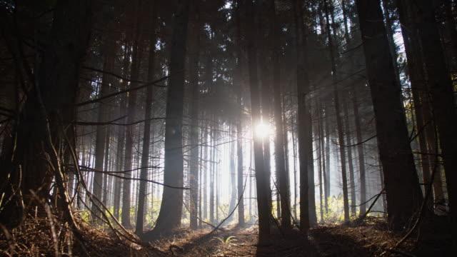 Verplaatsen tussen donkere bomen in naaldhout bos video