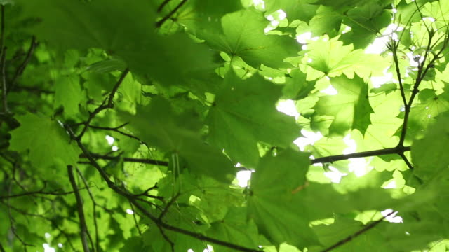 Moving Around Green Maple Tree video