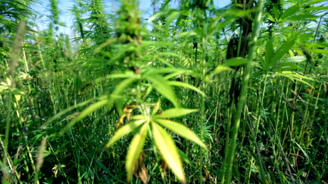 HD: Moving away from industrial cannabis plant HD1920x1080: High quality produced HD Stock Footage Clip of Industrial cannabis field and single hemp plants shots  from different angles while shaking in the wind on a sunny day near the roadside. hashish stock videos & royalty-free footage
