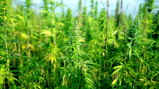 HD: Moving away from large cannabis plants HD1920x1080: High quality produced HD Stock Footage Clip of Industrial cannabis field and single hemp plants shots  from different angles while shaking in the wind on a sunny day near the roadside. hashish stock videos & royalty-free footage