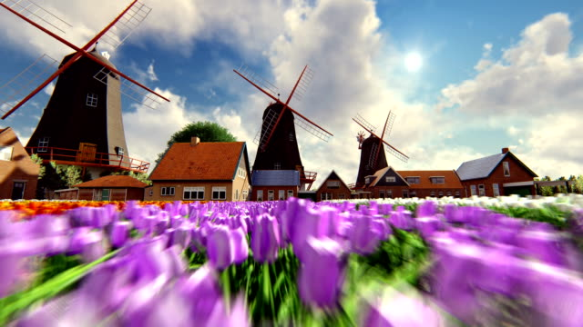 Moving Backwards Fast And Low Showing Tulip Field And Traditional Dutch Windmills