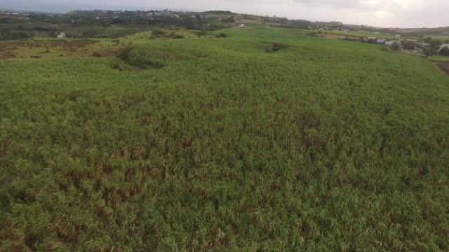 Moving drone shot over a sugarcane field video