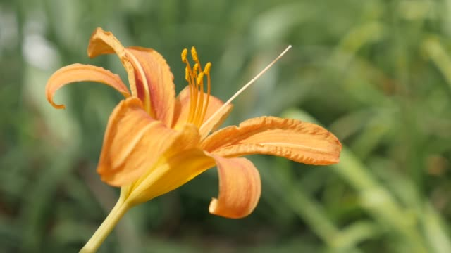 Moving on wind tawny day-lily in bloom plant natural garden background 4K 2160p 30fps UltraHD footage - Elegant orange flower bud of Hemerocallis fulva tiger close-up  3840X2160 UHD video