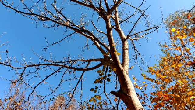 Moving pov around bare tree against blue sky video