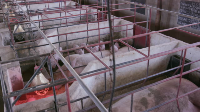 Moving shot of mother and piglets in a farrowing crate on an industrial pig farm video