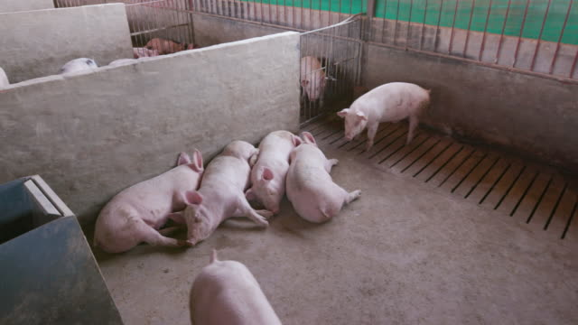 Moving shot of young pigs in their enclosure on an industrial pig farm video