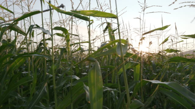 4K Moving shot through corn field with sunrise in the background video