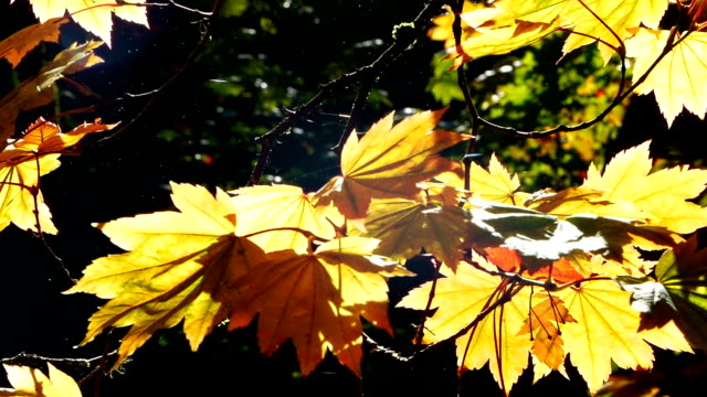 Moving through Autumn leaves video