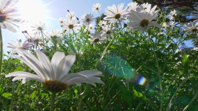 vídeos y material grabado en eventos de stock de moviéndose a través del campo de flores de manzanilla. el sol brilla brillante en el caluroso día de verano. 4k - manzanilla