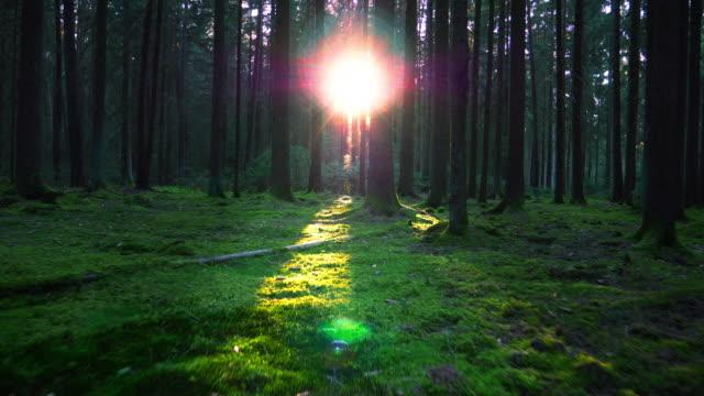 moving through coniferous forest in sunlight - muschio flora video stock e b–roll