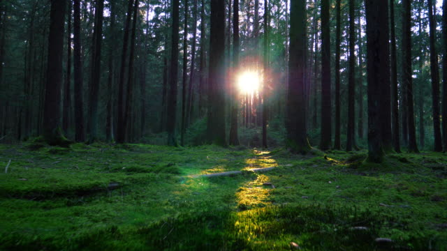 Moving Through Coniferous Forest In Sunlight