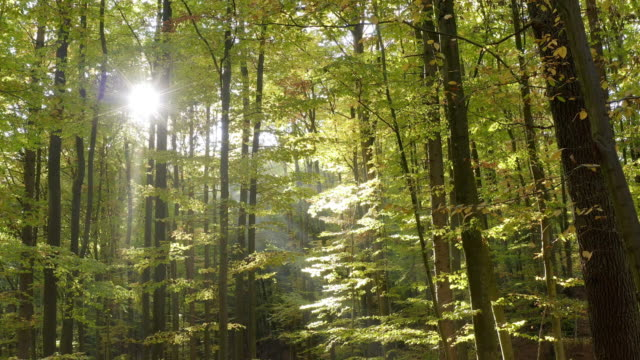 Moving Through Deciduous Forest in Autumn