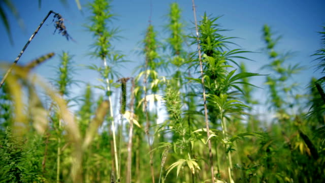 HD: Moving through hemp field on sunny day HD1920x1080: High quality produced HD Stock Footage Clip of Industrial cannabis field and single hemp plants shots  from different angles while shaking in the wind on a sunny day near the roadside. hashish stock videos & royalty-free footage