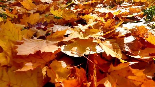 Moving through in autumn leaves video