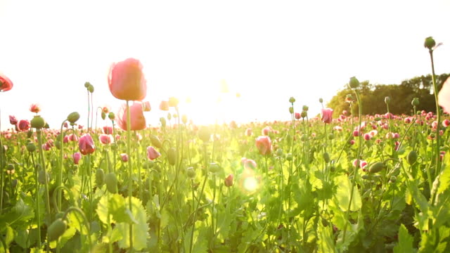 HD SUPER SLOW MO: Moving Through Poppies video