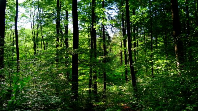 GIMBAL à travers Forêt de printemps (4 k UHD à haute définition /) - Vidéo