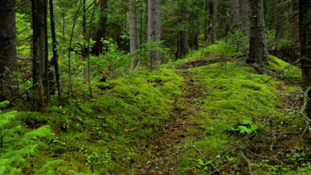 rör sig genom skogen fir - städsegrön växt bildbanksvideor och videomaterial från bakom kulisserna