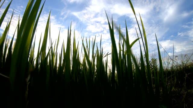 rör sig genom ogräs ris bladen i solljus. - blommönster bildbanksvideor och videomaterial från bakom kulisserna