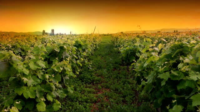 Moving through vineyard agriculture field at sunset pov, point of view cinematic shot video