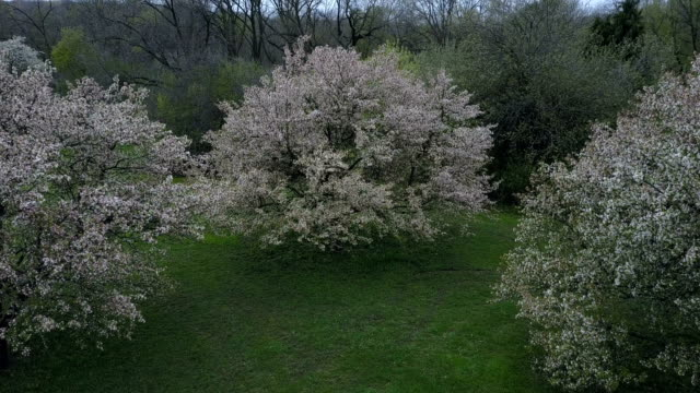 Moving Towards a Flowering Tree (Ungraded Footage) video