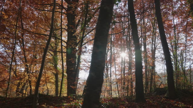 Moving video of dark beech trees at Autumn