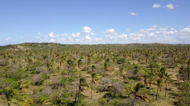 Mozambique Tofo Palm Plantation Vegetation video
