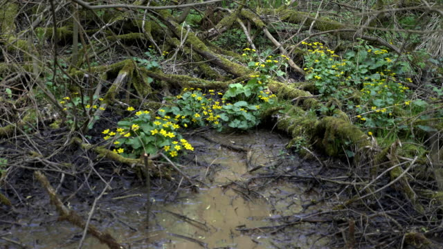 Mud plant with flowers. Swamps in summer. Cool green lake in primeval forest video