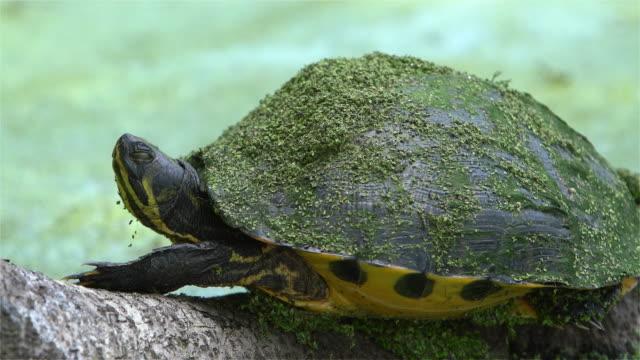 fango turtle-pollo tartaruga, deirochelys reticularia, nella zona umida nella carolina del sud, stati uniti meridionali. - organismo vivente video stock e b–roll