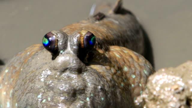 poskoczek mułowy na błotnistej swamp - spoiler filmów i materiałów b-roll