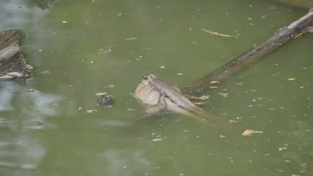 Mudskipper. video