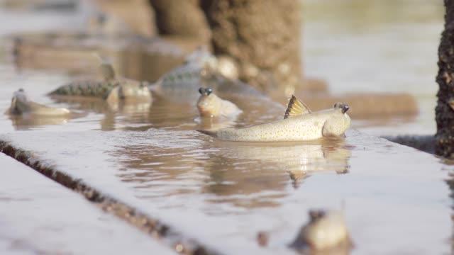 vidéos et rushes de périophthalmes dans la forêt de mangroves - nageoire caudale