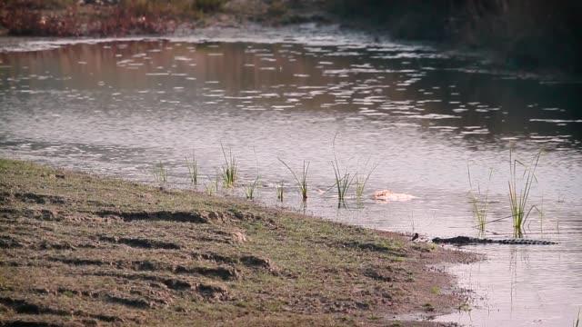 stockvideo's en b-roll-footage met moeraskrokodil bardia national park, nepal - rivieroever