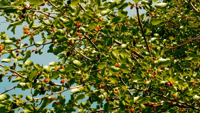 Mulberry Fruit on Tree, Fresh Berry in Nature video