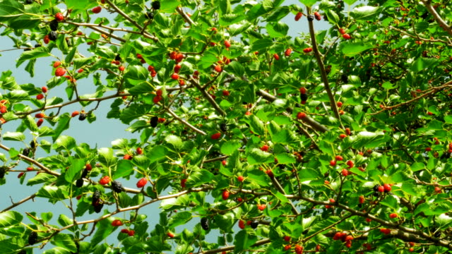 Mulberry Hanging on Tree Branches against the Sky video