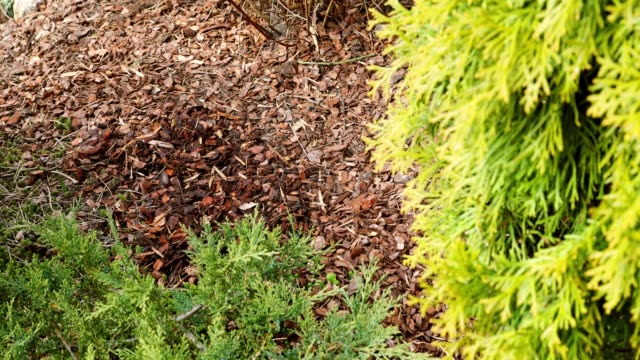 mulching garden plant bed with pine tree bark mulch